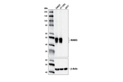 Western blot analysis of extracts from SW620, HT-1080, and MCF7 cells using RUNX3/AML2 (D9K6L) Mouse mAb (upper) and β-Actin (D6A8) Rabbit mAb #8457 (lower).