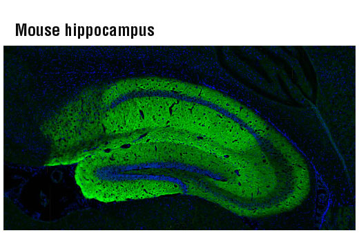 Confocal immunofluorescent analysis of mouse hippocampus using AMPA Receptor 1 (GluA1) (D4N9V) Rabbit mAb (green). Blue pseudocolor = DRAQ5® #4084 (fluorescent DNA dye).