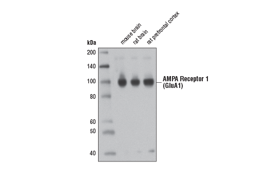 Western blot analysis of extracts from mouse brain, rat brain, and rat prefrontal cortex tissues using AMPA Receptor 1 (GluA1) (D4N9V) Rabbit mAb.