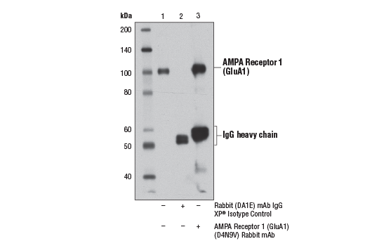 Immunoprecipitation of AMPA Receptor 1 (GluA1) from mouse brain extracts, using Rabbit (DA1E) mAb IgG XP® Isotype Control #3900 (lane 2) or AMPA Receptor 1 (GluA1) (D4N9V) Rabbit mAb (lane 3). Lane 1 is 10% input. Western blot analysis was performed using AMPA Receptor 1 (GluA1) (D4N9V) Rabbit mAb.