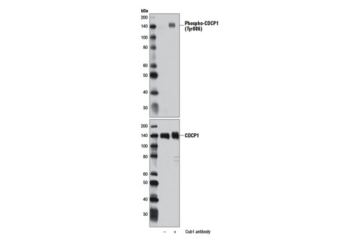 Polyclonal Antibody - Phospho-CDCP1 (Tyr806) Antibody - Western Blotting, UniProt ID Q9H5V8, Entrez ID 64866 #13024 - Primary Antibody Conjugates