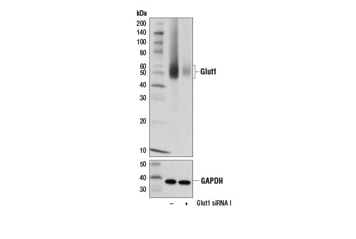 Western blot analysis of extracts from Hep G2 cells transfected with 100 nM SignalSilence<sup>®</sup> Control siRNA (Unconjugated) #6568 (-) or SignalSilence<sup>®</sup> Glut1 siRNA I (+) #14184, using Glut1 (D3J3A) Rabbit mAb (upper) or GAPDH (D16H11) XP<sup>®</sup> Rabbit mAb #5174 (lower).