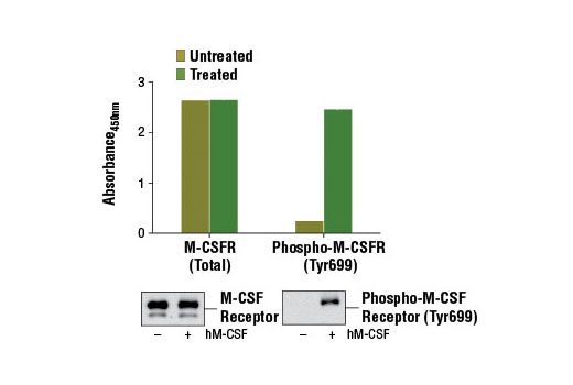 Figure 1: Treatment of NKM-1 cells with Human Macrophage Colony Stimulating Factor (hM-CSF) #8929 stimulates tyrosine phosphorylation of M-CSF receptor protein, as detected by PathScan<sup>®</sup> Phospho-M-CSF Receptor (Tyr699) Sandwich ELISA Kit #12946, but does not affect the level of total M-CSF receptor detected by PathScan<sup>®</sup> Total M-CSF Receptor Sandwich ELISA Kit #13032. The absorbance readings at 450 nm are shown in the top figure while corresponding western blots using M-CSF Receptor Antibody #3152 (left) and Phospho-M-CSF Receptor (Tyr699) (D10B11) Rabbit mAb #12251 (right) are shown in the bottom figure.