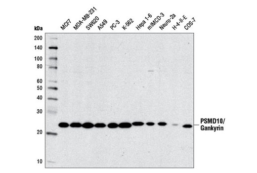 Western blot analysis of extracts from various cell lines using PSMD10/Gankyrin Antibody.
