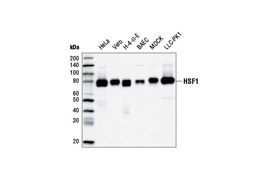 Western blot analysis of extracts from various cell lines using HSF1 (D3L8I) Rabbit mAb.