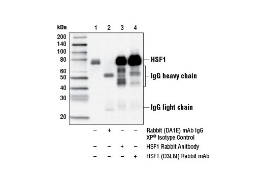 Immunoprecipitation of HSF1 from HeLa cell extracts using Rabbit (DA1E) mAb IgG XP<sup>®</sup> Isotype Control #3900 (lane 2), HSF1 Antibody #4356 (lane 3) or HSF1 (D8L8I) Rabbit mAb (lane 4). Lane 1 is 10% input. Western blot analysis was performed using HSF1 (D8L8I) Rabbit mAb.