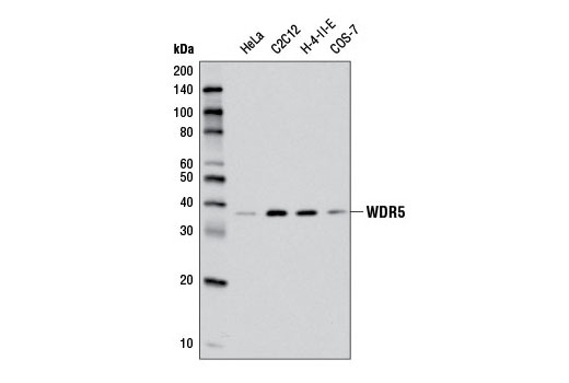 Western blot analysis of extracts from various cell lines using WDR5 (D3X5B) Rabbit mAb.