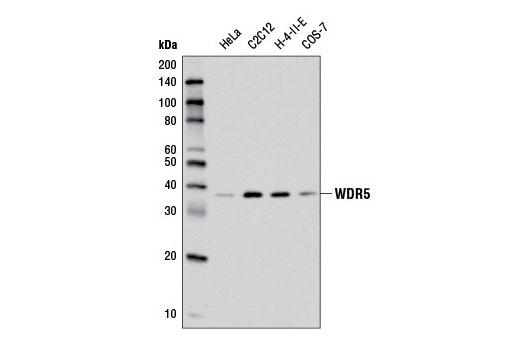 Monoclonal Antibody - WDR5 (D3X5B) Rabbit mAb - Western Blotting, UniProt ID P61964, Entrez ID 11091 #13073