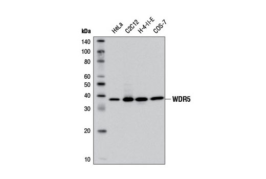 Western blot analysis of extracts from various cell lines using WDR5 (D9E1I) Rabbit mAb.