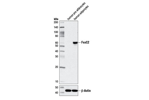 Monoclonal Antibody - FoxC2 (D4D4) Rabbit mAb - Western Blotting, UniProt ID Q99958, Entrez ID 2303 #12974, Glucose / Energy Metabolism