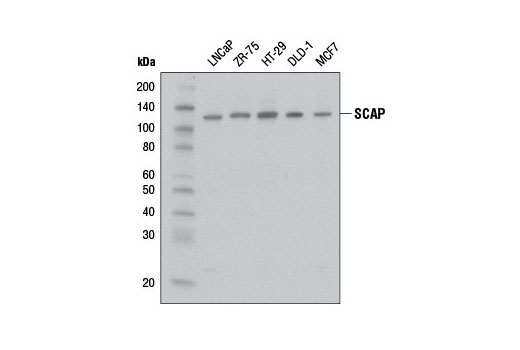 Western blot analysis of extracts from various cell lines using SCAP Antibody.