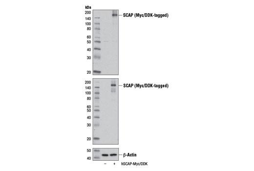 Polyclonal Antibody - SCAP Antibody - Western Blotting, UniProt ID Q12770, Entrez ID 22937 #13102 - Metabolism