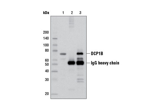 Immunoprecipitation of DCP1B from MCF7 cell extracts using Rabbit (DA1E) mAb IgG XP<sup>®</sup> Isotype Control #3900 (lane 2) or DCP1B (D2P9W) Rabbit mAb (lane 3). Lane 1 is 10% input. Western blot analysis was performed using DCP1B (D2P9W) Rabbit mAb.