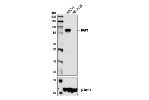 Western blot analysis of extracts from MOLT-4 and NCI-H226 cells using BAP1 (D7W7O) Rabbit mAb (upper) and β-Actin (D6A8) Rabbit mAb #8457 (lower).