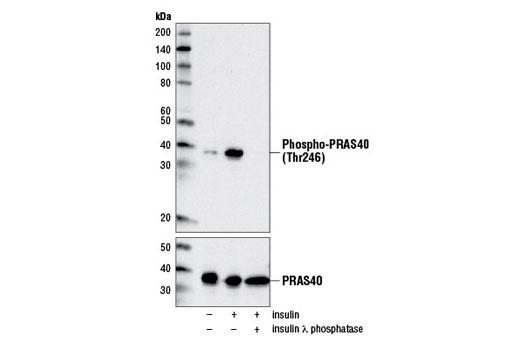 Monoclonal Antibody - Phospho-PRAS40 (Thr246) (D4D2) XP® Rabbit mAb, UniProt ID Q96B36, Entrez ID 84335 #13175, Pras40