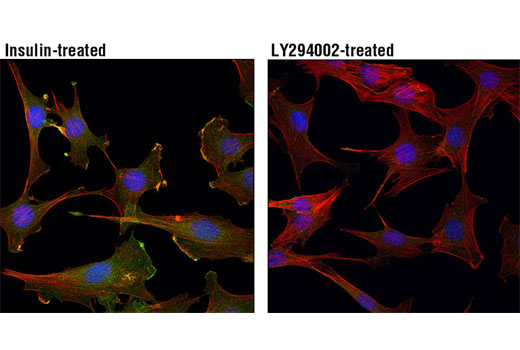Confocal immunofluorescent analysis of C2C12 cells, insulin-treated (100 nM, 15 min; left) or treated with LY294002 #9901 (50 μM, 2 hr; right), using Phospho-Akt (Thr308) (D25E6) XP<sup>®</sup> Rabbit mAb (green). Actin filaments were labeled with DY-554 phalloidin (red). Blue pseudocolor = DRAQ5<sup>®</sup> #4084 (fluorescent DNA dye).