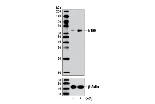 Monoclonal Antibody Western Blotting Nucleotide Biosynthetic Process