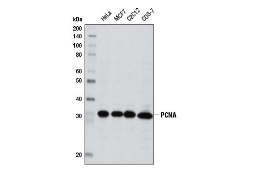 Western blot analysis of extracts from various cell lines using PCNA (D3H8P) XP<sup>®</sup> Rabbit mAb.