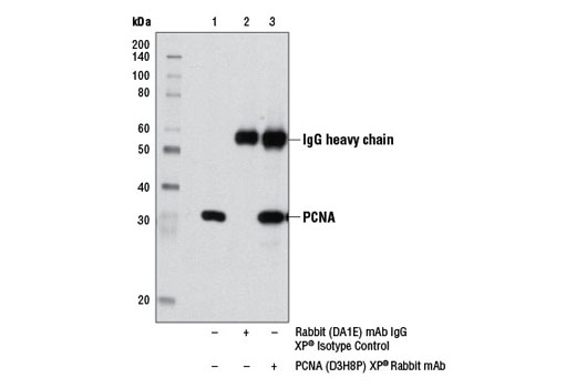 Immunoprecipitation of PCNA from HeLa cell extracts using Rabbit (DA1E) mAb IgG XP<sup>®</sup> Isotype Control #3900 (lane 2) or PCNA (D3H8P) XP<sup>®</sup> Rabbit mAb (lane 3). Lane 1 is 10% input. Western blot was performed using PCNA (D3H8P) XP<sup>®</sup> Rabbit mAb.