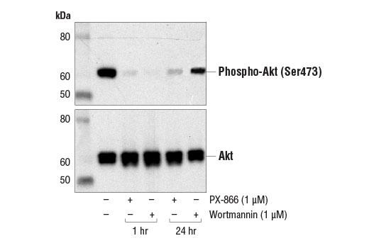 Chemical Modulators - PX-866 - 1 mg #13055, Companion Products