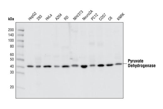 Western blot analysis of extracts from various cell types using Pyruvate Dehydrogenase Antibody.