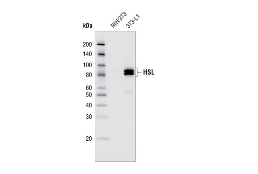 Western blot analysis of extracts from NIH/3T3 and 3T3-L1 cells using HSL Antibody.