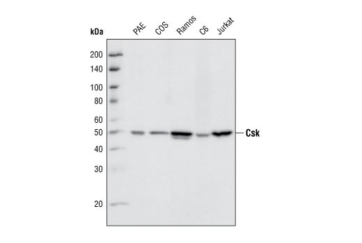 Western Blotting Image 2 - Src Family Antibody Sampler Kit