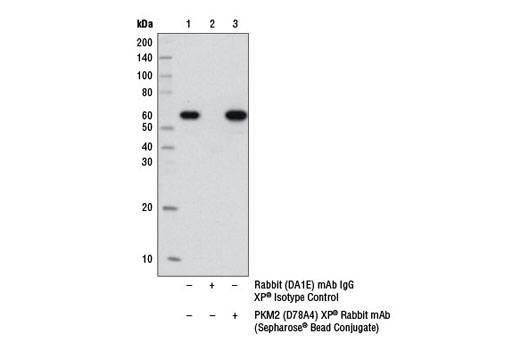 Immunoprecipitation of PKM2 from 3T3 cell extracts using Rabbit (DA1E) mAb IgG XP<sup>®</sup> Isotype Control (Sepharose Bead Conjugate) #3423 (lane 2) and PKM2 (D78A4) XP<sup>®</sup> Rabbit mAb (Sepharose<sup>®</sup> Bead Conjugate) (lane 3). Lane 1 is 10% input. Western blot analysis was performed using PKM2 (D78A4) XP<sup>®</sup> Rabbit mAb #4053 and Mouse Anti-rabbit IgG (Conformation Specific) (L27A9) mAb (HRP Conjugate) #5127.