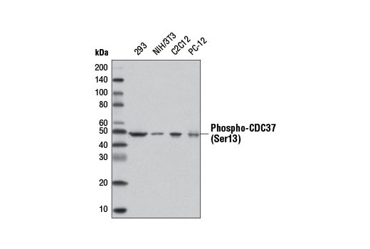 Western blot analysis of extracts from various cell lines using Phospho-CDC37 (Ser37) (D8P8F) Rabbit mAb.