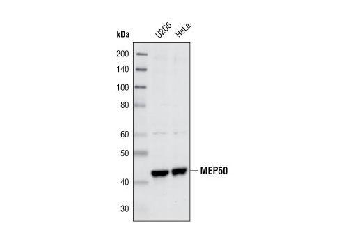 Western blot analysis of extracts from U2OS and HeLa cells using MEP50 Antibody.