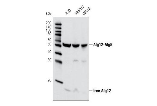 Western blot analysis of extracts from A20, NIH/3T3, and C2C12 cell lines using Atg12 Antibody (Mouse Specific).
