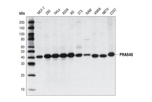 Polyclonal Antibody - PRAS40 Antibody - Western Blotting, UniProt ID Q96B36, Entrez ID 84335 #2610