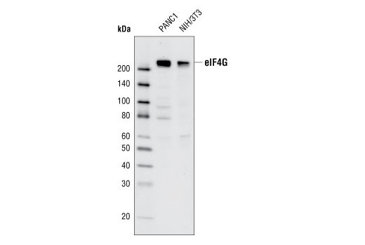 Western blot analysis of extracts from PANC1 and NIH/3T3 cells using eIF4G (C65H5) Rabbit mAb.