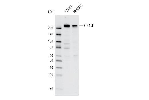 Monoclonal Antibody - eIF4G (C65H5) Rabbit mAb - Western Blotting, UniProt ID Q04637, Entrez ID 1981 #2617 - Translational Control