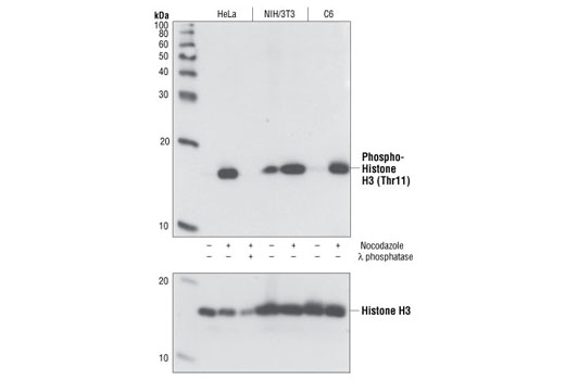 Western blot analysis of lysates from HeLa, NIH/3T3 and C6 cells treated for 24 hours with or without nocodazole (100 ng/ml) and also with or without λ phosphatase, using Phospho-Histone H3 (Thr11) (C2A6) Rabbit mAb (upper) or Histone H3 Antibody #9715 (lower).