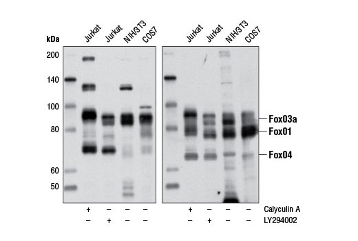 Western blot analysis of extracts from Jurkat cells treated with either Calyculin A (#9902) or LY294002 (#9901), NIH3T3 and COS-7 cells using Phospho-FoxO1 (Thr24)/(FoxO3a (Thr32)/FoxO4 (Thr28) (4G6) Rabbit mAb to detect FoxO1, FoxO3a and FoxO4 when phosphorylated at the Thr24, Thr32, and Thr28 positions, respectively (left panel). Total FoxO1, FoxO3a and FoxO4 were detected using FoxO1 (C29H4) Rabbit mAb (#2880), FoxO3a (75D8) Rabbit mAb (#2497) and FoxO4 Antibody (#9472), respectively (right panel).