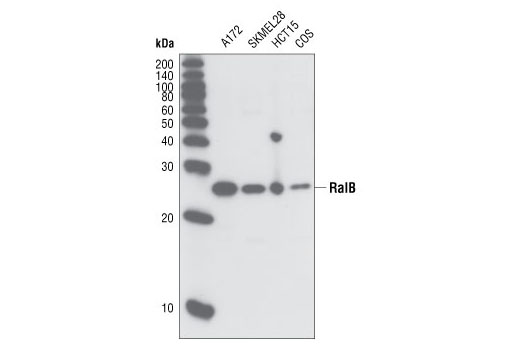 Western blot analysis of extracts from various cell types using RalB Antibody.