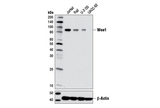 Western blot analysis of extracts from various cell lines using Wee1 (D10D2) Rabbit mAb (upper) and β-Actin (D6A8) Rabbit mAb #8457 (lower).
