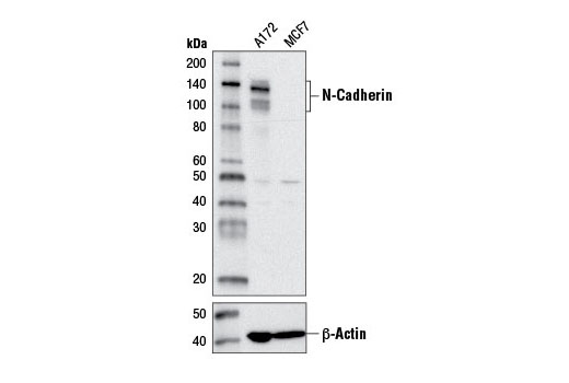 Western blot analysis of extracts from A172 and MCF7 cells using N-Cadherin (D4R1H) XP<sup>®</sup> Rabbit mAb (upper) or β-Actin (D6A8) Rabbit mAb #8457 (lower).