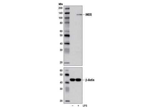 Western blot analysis of extracts from Raw 264.7 cells, untreated (-) or LPS-treated (1 μg/ml, 8 hr; +), using iNOS (D6B6S) Rabbit mAb (upper) and β-Actin (D6A8) Rabbit mAb #8457 (lower).