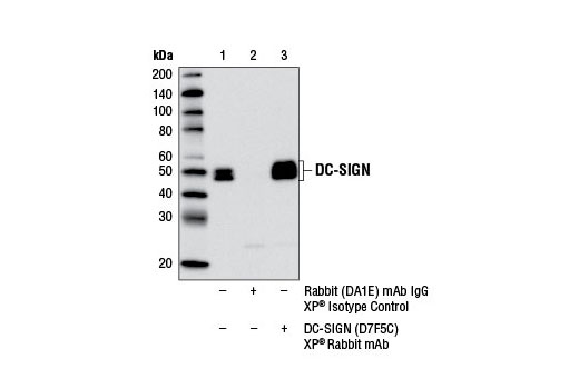 Immunoprecipitation of DC-SIGN from MUTZ-3 cell extracts differentiated into interstitial dendritic cells with Human Granulocyte Macrophage Colony Stimulating Factor (hGM-CSF) #8922 (100 ng/ml), Human Interleukin-4 (hIL-4) #8919 (100 ng/ml), and Human Tumor Necrosis Factor-α (hTNF-α) #8902 (2.5 ng/ml) for 7 d, using Rabbit (DA1E) mAb IgG XP<sup>®</sup> Isotype Control #3900 (lane 2) or DC-SIGN (D7F5C) XP<sup>®</sup> Rabbit mAb (lane 3). Lane 1 is 10% input. Western blot analysis was performed using DC-SIGN (D7F5C) XP<sup>®</sup> Rabbit mAb.