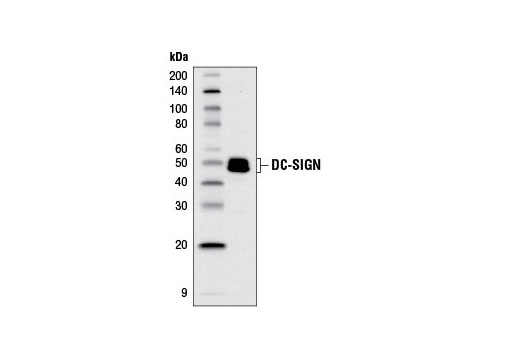 Monoclonal Antibody - DC-SIGN (D7F5C) XP® Rabbit mAb, UniProt ID Q9NNX6, Entrez ID 30835 #13193, Cd209
