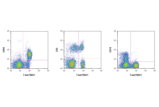 Flow cytometric analysis of human PBMCs using T-bet/TBX21 (D6N8B) XP<sup>®</sup> Rabbit mAb co-stained with either CD56, CD3 or CD19. CD56+ NK cells and a subset of CD3+ T cells are both distinctly positive for T-bet/TBX21 whereas CD19+ B cells are negative. Anti-rabbit IgG (H+L), F(ab')<sub>2</sub> Fragment (Alexa Fluor<sup>®</sup> 647 Conjugate) #4414 was used as a secondary antibody for the T-Bet/TBX21 primary.