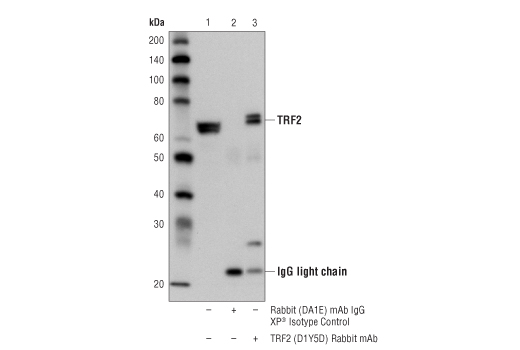 Immunoprecipitation of TRF2 from HCT 116 cell extracts using Rabbit (DA1E) mAb IgG XP<sup>®</sup> Isotype Control #3900 (lane 2) or TRF2 (D1Y5D) Rabbit mAb (lane 3). Lane 1 is 10% input. Western blot analysis was performed using TRF2 (D1Y5D) Rabbit mAb.