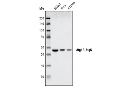 Western blot analysis of extracts from PANC1, HeLa and HT1080 cell lines using Atg5 Antibody.