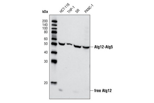 Western blot analysis of extracts from various cell lines using Atg12 Antibody (Human Specific).