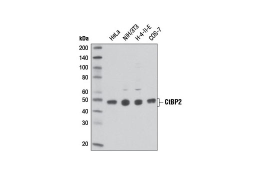Western blot analysis of extracts from various cell lines using CtBP2 Antibody.