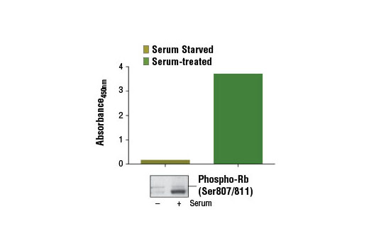 Figure 1: Treatment of serum-starved WI-38 cells (3 days) with serum for 2 days induces phospho-Rb (Ser807/811) protein, as detected by the PathScan<sup>®</sup> Phospho-Rb (Ser807/811) Sandwich ELISA Kit #13152. The absorbance readings at 450 nm are shown in the top figure while the corresponding western blot using Phospho-Rb (Ser807/811) (D20B12) XP<sup>® </sup>Rabbit mAb #8516 is shown in the bottom figure.