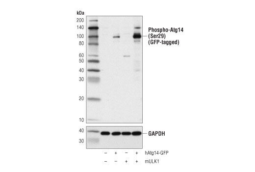 Western blot analysis of extracts from 293T cells, mock transfected (-) or transfected with constructs expressing GFP-tagged human Atg14 protein (hAtg14-GFP; +) or mouse ULK1 protein (mULK1; +), using Phospho-Atg14 (Ser29) Antibody (upper) and GAPDH (D16H11) XP<sup>®</sup> Rabbit mAb #5174 (lower).