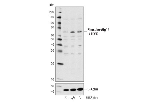 Western blot analysis of extracts from C2C12 cells, untreated or starved with Earle's Basic Salt Solution (EBSS) for the indicated times using Phospho-Atg14 (Ser29) Antibody (upper) and β-Actin (D6A8) Rabbit mAb #8457 (lower).